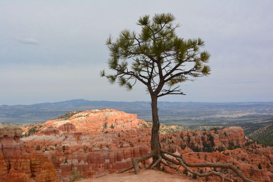Arbre Avec Racine arbre avec racines bryce canyon - photo arbre avec racines bryce canyon
