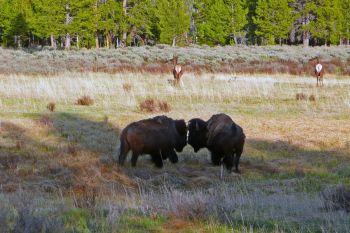 """Résultat de recherche d'images pour """"visiter gibbon meadows yellowstone national park"""""""