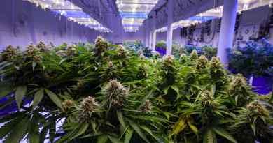 Experience 420 sur le thème du cannabis
